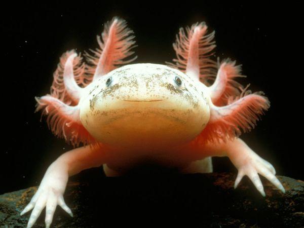 Mexican Axolotl: Key To Regeneration In Humans