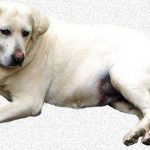 Home Remedies For Joint and Muscle Pain In Dogs