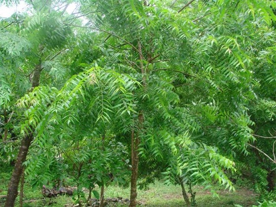 Medicinal Values Of Neem Tree And Tremendous Benefits