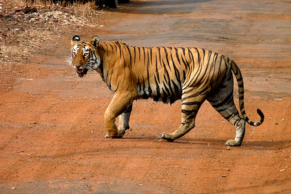 Tadoba and Other Top Destinations In India For Spotting Tigers